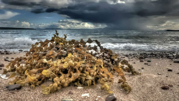 Scottish coastal seaweedkelp by Ian Horne who lives along the route