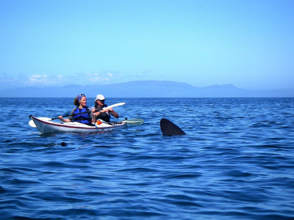 Sea kayaking with a Basking shark in Scotland