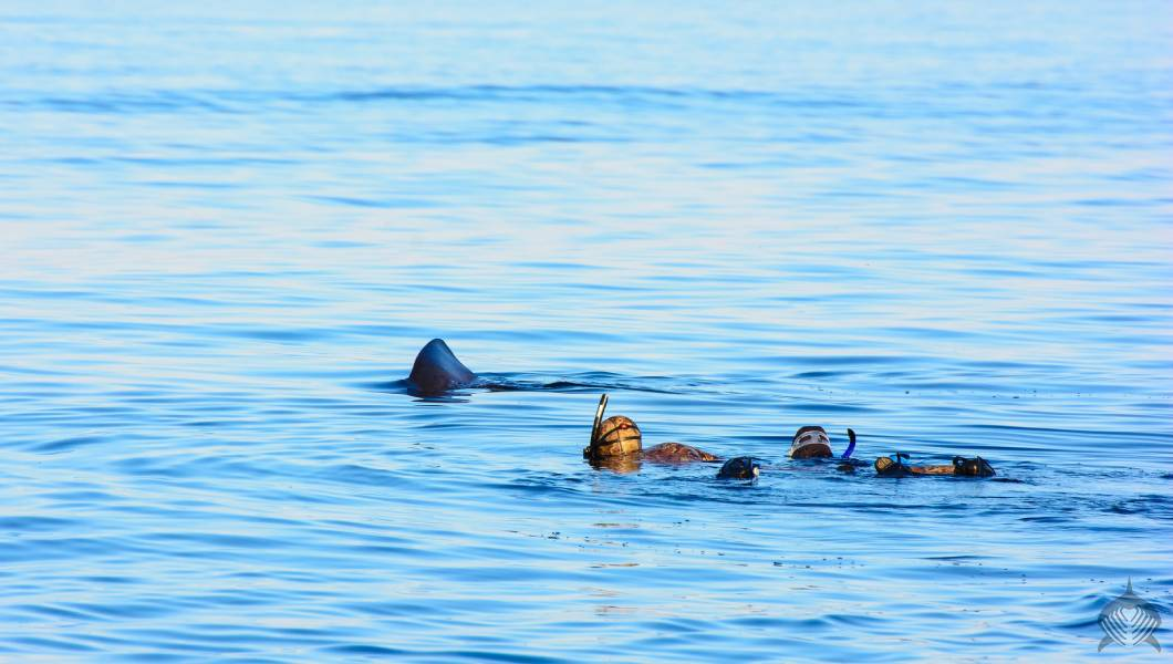 Basking shark with snorkellers in scotland