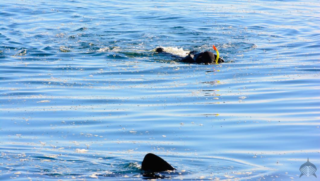 Scottish waters, swimming with Sharks in Scotland